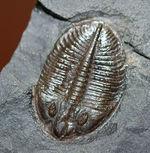 最初に科学誌に掲載された三葉虫、オジジオカレラ(Ogygiocarella debuchi)