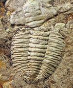貴重なオールドコレクション!オーストラリア産三葉虫、エスタインギア・ビロバタ(Estaingia bilobata)
