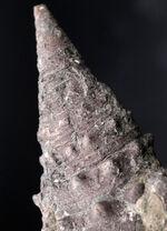 亜熱帯性気候の日本にかつて存在していた巻き貝。7センチ超え!岡山県産の巻き貝、ビカリア(Vicarya)化石