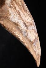 恐竜化石コレクター垂涎のアイテム!どの角度から眺めても完全な保存状態を示す、見事なスピノサウルス(Spinosaurus)のフットクロウの化石