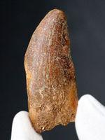 幅広!白亜紀モロッコ産、カルカロドントサウルス(Carcharodontosaurus)の歯化石。