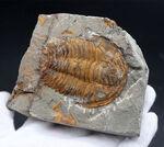 最初期の三葉虫の一つ、カンブリア紀の三葉虫、パラドキシデス(Paradoxides)のネガポジ化石