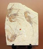 レバノン産白亜紀のエビ、カルポペネオスが4体並んだ華やかなマルチプレート標本