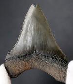 パーフェクト!これ以上望めない素晴らしい保存状態を示すメガロドン(Carcharocles megalodon)の歯化石