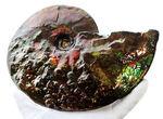 希少!ナイスプライス!美しきドラゴンスキンが備わった希少なアンモライト(Ammolite)の完全体