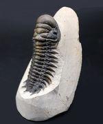 保存状態極めて良好!縦にも展示可能、人気の三葉虫、クロタロセファルス・ギブス(Crotalocephalus gibbus)