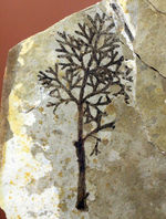 中生代前期の地層から採集された非常に上質の植物片のネガポジ化石