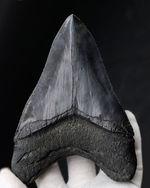 ヘビーコレクター専用の超の付く一級品!巨大、極厚でありながらナチュラル!メガロドンベリーナチュラル!人気のメガロドン(Carcharocles megalodon)の歯化石の歯化石。