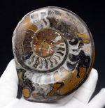 400グラム超え、立派!古生代デボン紀を代表する頭足類、ゴニアタイト(Goniatite)の化石。厚みあり!