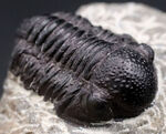 丸くて可愛らしいモロッコ産の三葉虫、ゲラストス(Gerastos)の化石。保存状態良好です