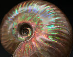 ハイクラス品!赤から青まで非常に多くの色を呈する、直径最大部99ミリの大きな遊色アンモナイト、クレオニセラス(Cleoniceras)の厳選化石