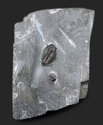 ユタ州カンブリア紀の三葉虫エルラシア・キンギの母岩付き化石
