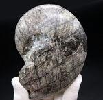 古生代の変わり種の頭足類の化石
