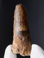 プレゼントにいかがでしょうか。恐竜、スピノサウルス(Spinosaurus)の太い歯化石
