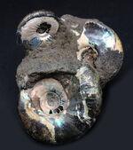 非常に美しいブルー系の遊色を呈する、ジュラ紀のロシアンアンモナイトの群集化石(Ammonite)