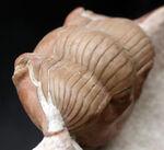 問い合わせを多く頂く人気種、特大サイズ!三葉虫、イレヌス・シュミッティの上質標本。2ウェイの展示が可能!