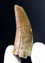 ナイスプライス!ナチュラル、美しいフォルム、粒ぞろいのセレーションに加え、摩耗痕まで保存されている、いかにも上質なティラノサウルス・レックス(Tyrannosaurus rex)の歯化石