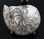 """ユニークな縫合線にご注目下さい!""""超""""密巻きのゴニアタイト(Goniatite)の化石"""