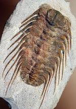 三葉虫コレクターの憧れの存在、ナチュラルかつ上質なセレノペルティス(Selenopeltis buchii)、棘含め13cm超えの大判個体