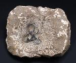 奇々怪々のフォルムで知られるモロッコ産の三葉虫、セラタルゲス(Ceratarges)の化石