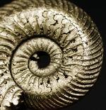 両面ともに保存状態良好!ロシア産の黄鉄鉱化アンモナイト、クエンステッドセラス(Quenstedotoceras)の化石
