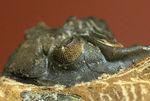 典型的な三葉虫メタカンティナ(Metacanthina sp.)