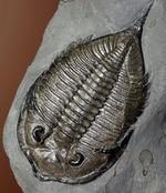 最上の標本の一つ、米国ニューヨーク州産三葉虫ダルマニテス(Dalmanites limulurus)。ご興味のある方はお急ぎください。
