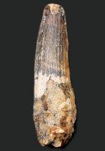 プレゼントにいかがでしょうか?史上最大級の肉食恐竜の一つ、スピノサウルス(Spinosaurus)の野太い歯化石。ラッピング無料