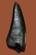 58ミリのジェム、必見!ティラノサウルス・レックスのシンボル!前上顎骨歯のパーフェクト標本。