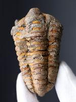 初期の三葉虫の一つ、芋虫のようなフォルムが特徴的、モロッコ産ディアカリメネ・ウーズレグイ(Diacalymene ouzregui)