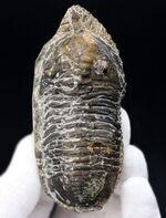 カブトムシのような特徴的な棘を持つ、モロッコ産三葉虫,モロッコニテス(Morocconites)