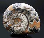 ブラウン、ホワイト、ブラック三色が混じったカラフルなゴニアタイト(Goniatite)の化石。アンモナイトの祖先!