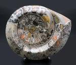 珍しい!サーモンピンクを呈するカラフルなゴニアタイト(Goniatite)の化石