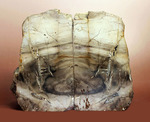 2面の展示方法ができる古代の木化石、ブラジル産珪化木(ケイカボク)