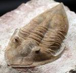 レア!9センチ級!ユニークなフォルムでひと目でそれと分かるアサフスの仲間、ロシア産の三葉虫、メギスタスピス・ラティカウダータ(Megistaspis laticaudata)