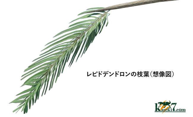 レピドデンドロンの枝<br /> 葉