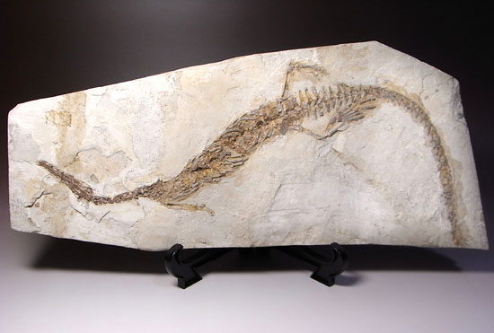 メソサウルスの化石
