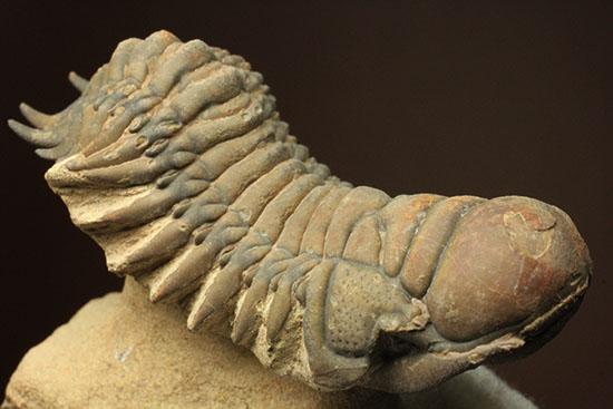 クロタロセファルス・ギブス(Crotalocephalus gibbus)