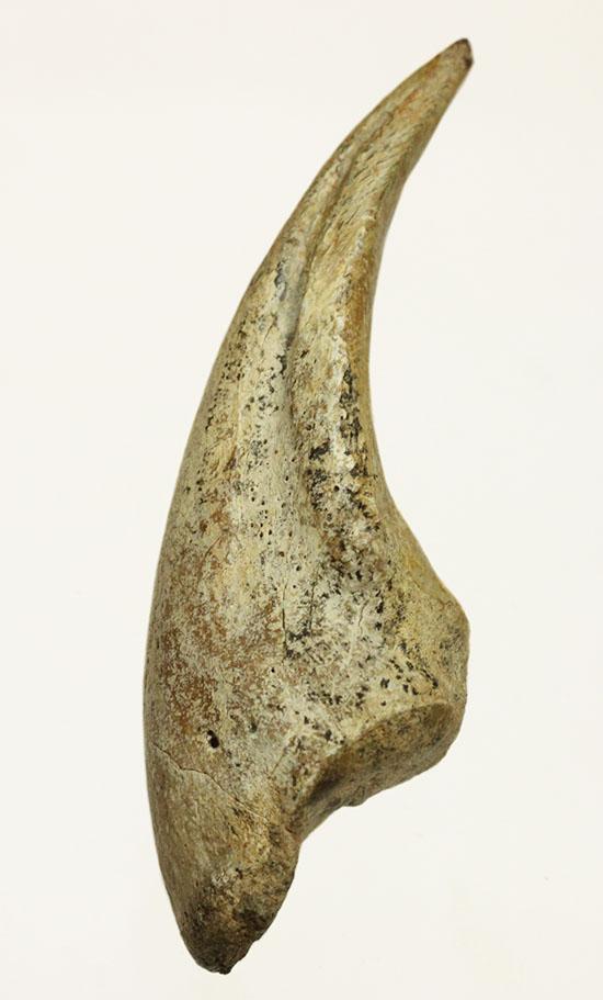 希少!ずっしり重い!白亜紀の大地を踏みしめたティラノサウルス・レックスの幼体のフットクロウ(Tyrannosaurus Rex)/中生代白亜紀(1億3500万 -- 6500万年前)【di545】