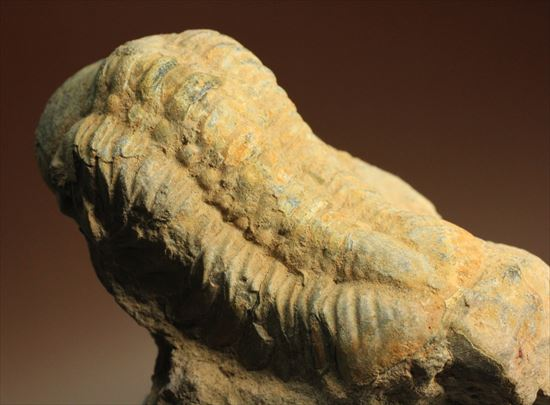 デボン紀の三葉虫リードプス(Reedops sp)