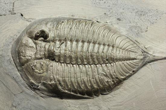 米国ニューヨークを代表する三葉虫ダルマニテス 三葉虫 販売化石販売の化石セブン ティラノサウルスの歯化石はこちら