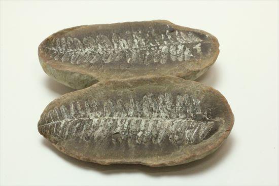 古代の植生を封印したノジュール標本
