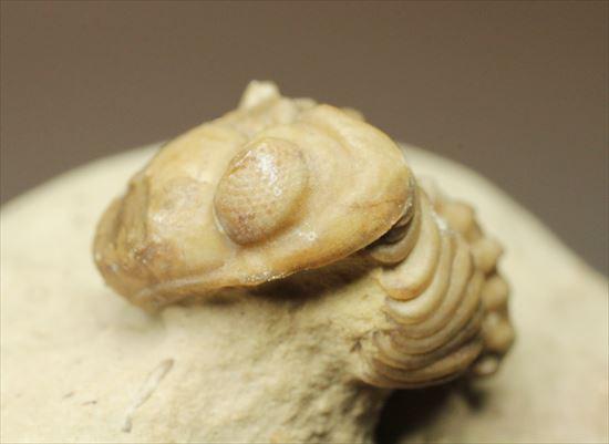 米国オクラホマ産三葉虫リードプス複眼保存状態良し