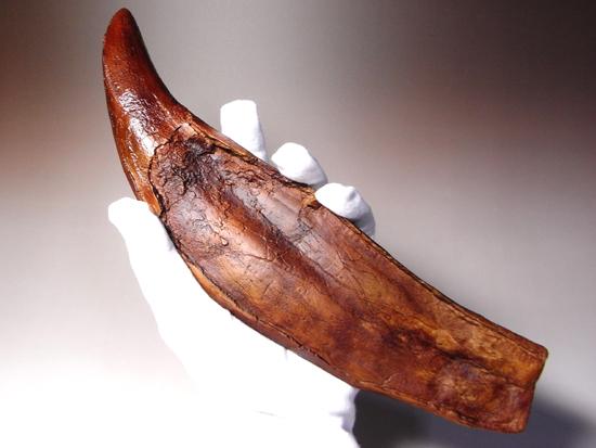 歯根が非常に長いティラノサウルス・レックスの歯化石の精巧レプリカ