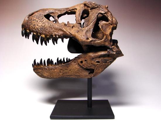 ティラノサウルス(Tyrannosaurus)1/9精巧頭骨レプリカ