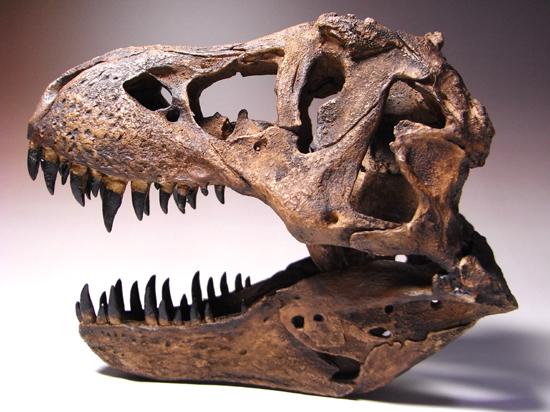 ティラノサウルスに特有のアルファベット「B」型の穴が、頭部後方部にはっきり見られます。頭骨部分の穴の多さが目立ちます。これは、150センチにも及ぶ巨大な頭骨