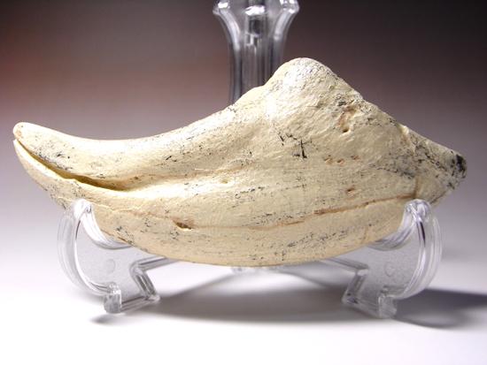 通称アジアン・t-rex:タルボサウルスの後肢の爪のレプリカ