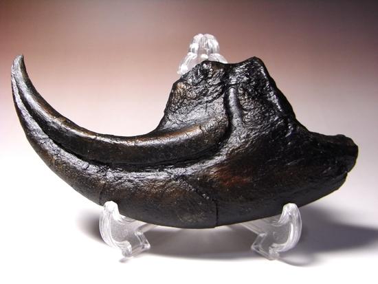 ジュラ紀の地上最強:アロサウルスの巨大かぎ爪のレプリカ