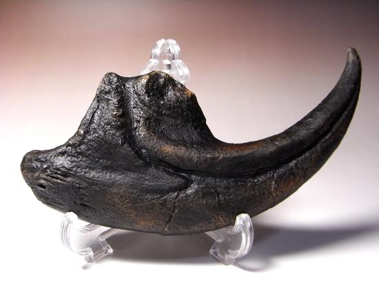 ジュラ紀の地上最強:アロサウルスの巨大かぎ爪のレプリカ / 【re006】