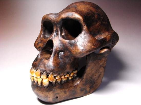 300万年の時を経て:我らが祖先アウストラロピテクスのレプリカ